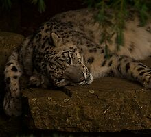Snow Leopard v1, Paradise Wildlife Park by JMChown