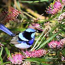 The superb Fairy Wren by robmac