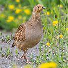 Summer partridge by jamesmcdonald