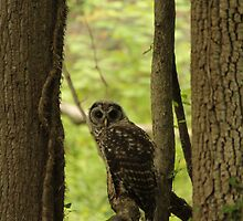 Barred Owl by elasita