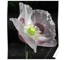 Lavender Poppy Poster