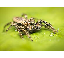 Marpissa muscosa male jumping spider with water drops Photographic Print