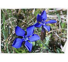 Spring Gentian, ( Gentiana Vernia) Upper Teesdale, North England Poster