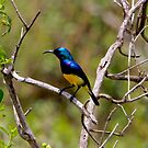Variable Sunbird ( Cinnyris venustus ) - Lake Nadutu Southern Serengeti  Tanzania by john  Lenagan