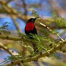 Hunters Sunbird ( Chalcomitra hunteri  )  - Lake Eyasi Tanzania by john  Lenagan