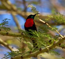 Hunters Sunbird ( Chalcomitra hunteri  )  - Lake Eyasi Tanzania by john  Lenagan