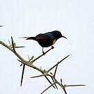 Big thorns little Sunbird  - Lake Nadutu Tanzania by john  Lenagan