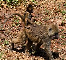 Along for the ride  - Young Baboon and Mother ( Papio cynocephalus ) Lake Manyara  Tanzania by john  Lenagan