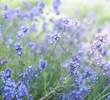 ...lavender dreams........ by Jane Anastasia Studio