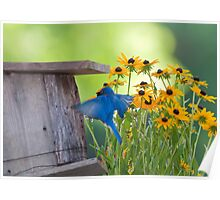 Bluebird flying thru Black Eyed Susans Poster