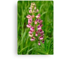Pink Lupine I Canvas Print