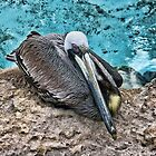 Resting Pelican by Avril Harris