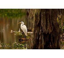 Great Egret on Lake Martin, Breaux Bridge, Louisiana Photographic Print