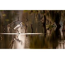 Great Egret with Fish, Lake Martin, Breaux Bridge, Louisiana Photographic Print