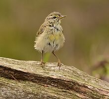female willow warbler by Nicole W.