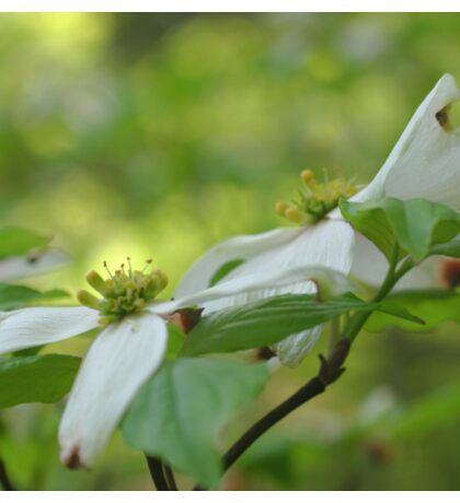White Dogwood Flower Blossoms Sticker