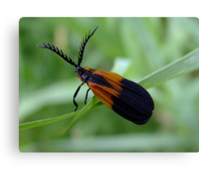 Banded Net - Wing Beetle - Caenia dimidiata Canvas Print