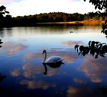Swans of Windsor by subeer