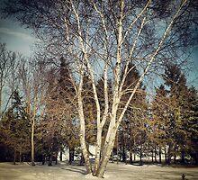 Birch Tree in Winter Original by Michael & Alyssa Straus