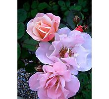 Governor General's Roses13 Photographic Print