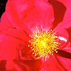 Governor General's Roses14 by Shulie1