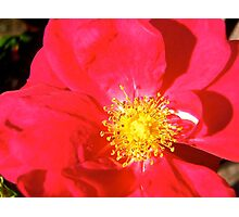 Governor General's Roses14 Photographic Print