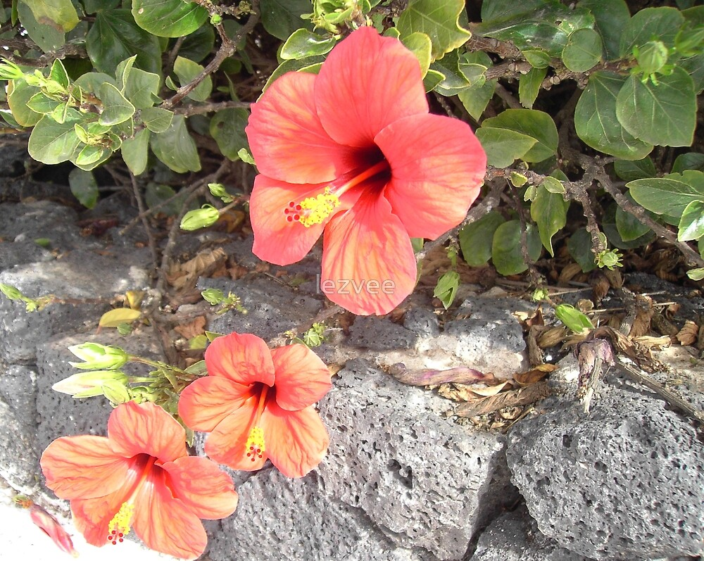 Hisbiscus in Lanzarote by lezvee