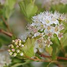 Ninebark Blossoms by Kathi Arnell