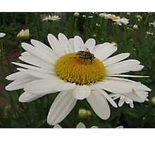 Bee and the Daisy Photographic Print