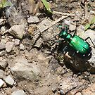 Tiger Beetle by Chris Richards