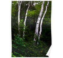 White Birches in the Forrest Poster