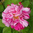 Rosa mundi (Rosa gallica 'Versicolor') by Philip Mitchell