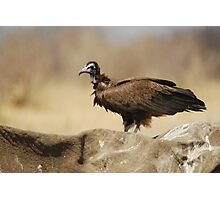 Hooded Vulture Photographic Print