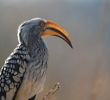 Southern Yellow-billed Hornbill by Nick Hart