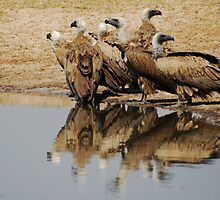 White-backed Vulture by Nick Hart