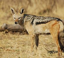 Black-backed Jackal by Nick Hart