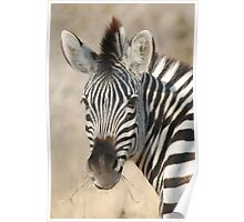 Plains Zebra Poster