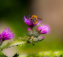 Bumblebee on a Thistle Flower by Michael Brewer