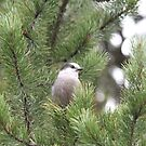 The Gray Jay by Kathi Arnell
