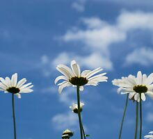 A few Marguerites in the sun by Inse van Houts