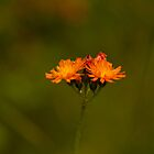 Orange Delight by GailDouglas