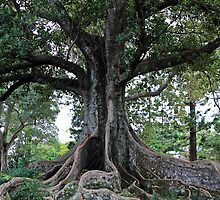 Moreton Bay Fig tree 2 by daisy-lee
