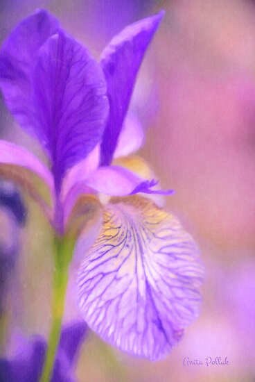Iris in Pastel by Anita Pollak