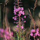 Sun Kissed Fireweed by Kathi Arnell