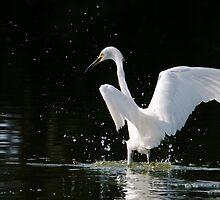 Splashing Egret by Eivor Kuchta