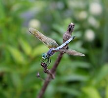 Dragonfly by Kelly Morris