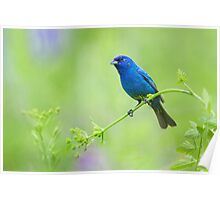 Indigo Bunting...Not Feeling Blue! Poster