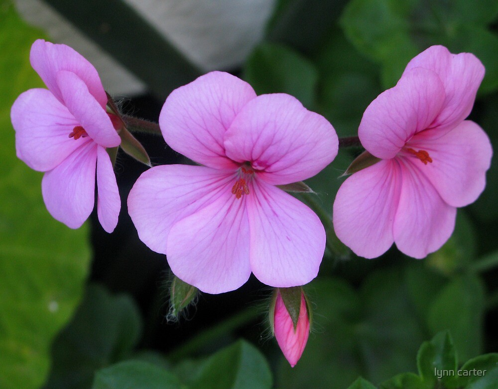 Pink Ladies by lynn carter