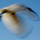 Ibis in Motion by myraj