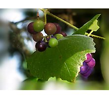 Mustang Grape Vine Photographic Print
